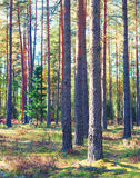 Nikły zielony sosnowy las w jesieni obraz royalty free