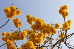 Nika kwitnie z niebem Obraz Stock