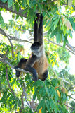 Nikaraguańska pająk małpa Obraz Royalty Free