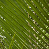 Nikau Palm Leaves Royalty Free Stock Photo