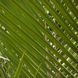 Nikau Palm Leaves Royalty Free Stock Photo