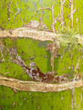 Nikau palm Rhopalostylis sapida tree trunk closeup Royalty Free Stock Photos
