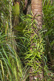 Nikau palm tree trunks Royalty Free Stock Image