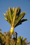 Nikau Palms Stock Photos