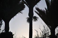Nikau Palms Stock Image