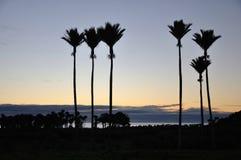 Nikau Palms Royalty Free Stock Photo