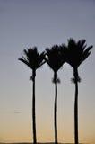Nikau Palms Royalty Free Stock Image