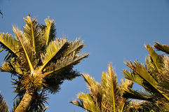 Nikau Palms Stock Photography
