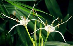 Nikli płatki kwiaty Fotografia Royalty Free