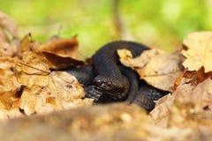 Nikolskii掩藏在叶子中的黑色蛇蝎 库存照片