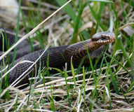Nikolskii do berus do Vipera da serpente na natureza Fotos de Stock Royalty Free