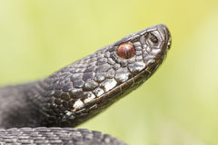 Nikolsky's viper Royalty Free Stock Images