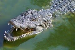 Nil alligator Royalty Free Stock Image