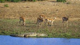 Nil impala w Kruger parku narodowym i krokodyl, Południowa Afryka Zdjęcie Royalty Free