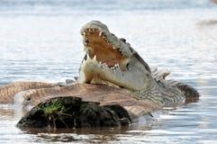 Nil-Krokodil lizenzfreie stockfotos