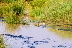 Nil-Krokodil (Crocodylus niloticus) stockfotos