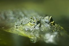 Nil-Krokodil (Crocodylus niloticus) Lizenzfreie Stockfotos