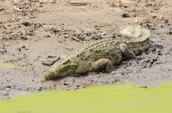 Nil-Krokodil, das in der Sonne sich aalt Lizenzfreies Stockfoto