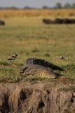 Nil-Krokodil, das an Okavango-Delta wartet Stockbilder