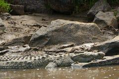 Nil-Krokodil, Maasai Mara Game Reserve, Kenia Lizenzfreie Stockfotografie