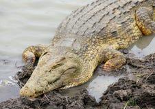 Nil-Krokodil, Mikumi Nationalpark, Tanzania Lizenzfreies Stockbild