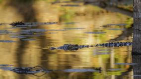 Nil-Krokodil in Nationalpark Kruger, Südafrika Lizenzfreies Stockfoto