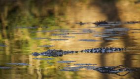 Nil-Krokodil in Nationalpark Kruger, Südafrika Stockfotografie