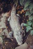 Nil-Krokodil, wild lebende Tiere in Bali-Vögeln und Reptilien parken Stockfotografie