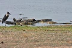 Nil-Krokodile genießen auf Aas afrikanischem Büffel, in Nationalpark Chobe, Botswana Stockbilder