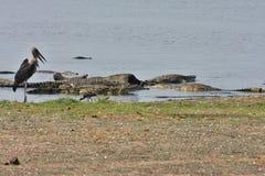 Nil-Krokodile genießen auf Aas afrikanischem Büffel, in Nationalpark Chobe, Botswana Stockfotos