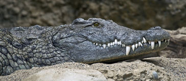 Nil krokodyl (1) Zdjęcie Stock