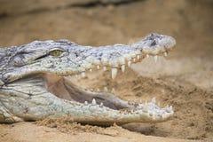 Nil krokodyl Obraz Royalty Free