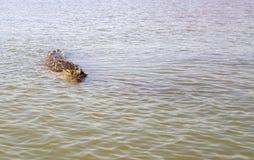 Nil krokodyl (Crocodylus niloticus) Zdjęcie Royalty Free
