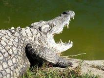 Nil krokodyl (Crocodylus niloticus) Zdjęcie Stock