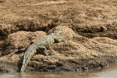 Nil krokodyl, Maasai Mara gry rezerwa, Kenja Zdjęcia Stock