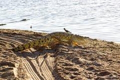 Nil krokodyl, Selous gry rezerwa, Tanzania obrazy royalty free
