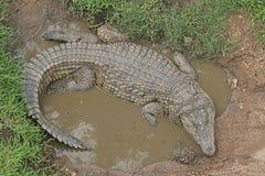 NIL krokodyl W kałuży woda zdjęcie royalty free
