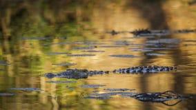 Nil krokodyl w Kruger parku narodowym, Południowa Afryka Fotografia Stock