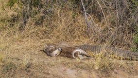 Nil krokodyl w Kruger parku narodowym, Południowa Afryka; Obrazy Royalty Free