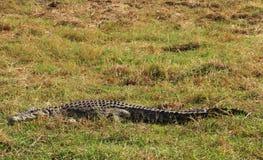 Nil krokodyl w trawie Obrazy Royalty Free