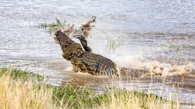 Nil krokodyl z ścierwem Zdjęcia Stock