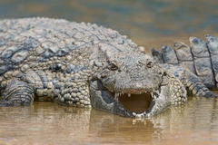 Nil krokodyla Crocodylus niloticus Zdjęcia Royalty Free