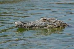 Nil krokodyla Crocodylus niloticus Zdjęcie Stock