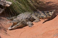 Nil krokodyla Crocodylus niloticus Zdjęcie Royalty Free