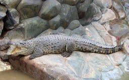 Nil krokodyla lying on the beach na skałach, wygrzewa się w słońcu Fotografia Stock