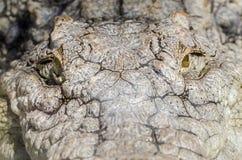 Nil krokodyla polowanie Obraz Royalty Free