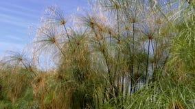 Nil papirusu krzaki zbiory wideo