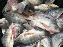Nil tilapia ryba Zdjęcia Stock