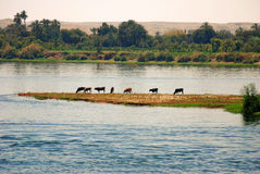 Nile. Cows grazing at the banks of Nile river, Egypt stock images