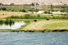 Nile. Cows grazing at the banks of Nile river, Egypt royalty free stock photo